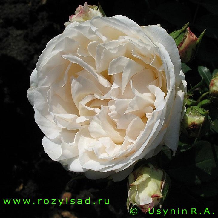 фото розы 80 см
