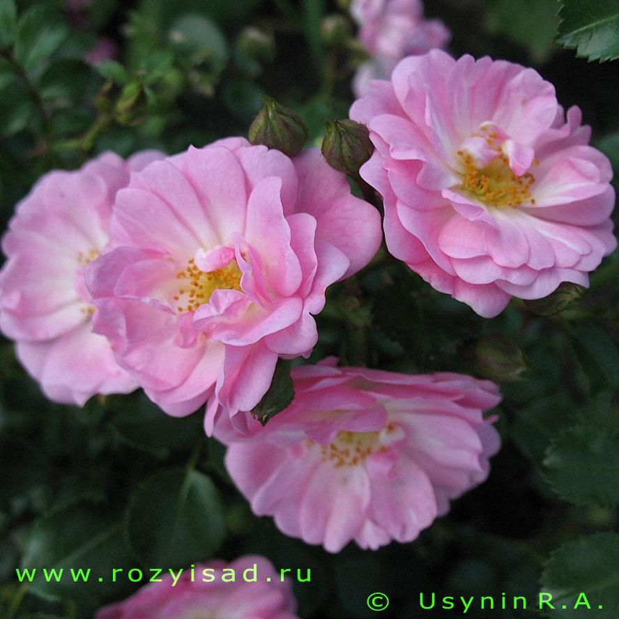 Белые цветы фото розы