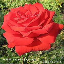 фото роза серенада