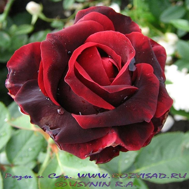 норита роза фото и описание