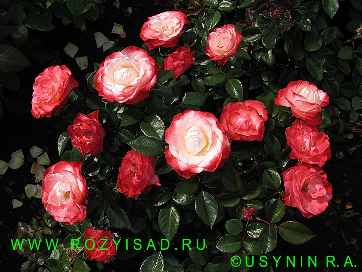 роза чайно гибридная ностальжи