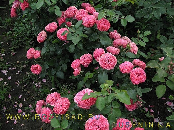 27 май 2017. Прекрасны и мейяновские розы флорибунда leonard devinci и red leonard de vinci (mona lisa). Эти прекрасные сорта превосходно живут в нашем климате уже много лет, неповторимо цветут и радуют из года в год. У них прекрасные густомахровые цветы, с плотной набивкой,