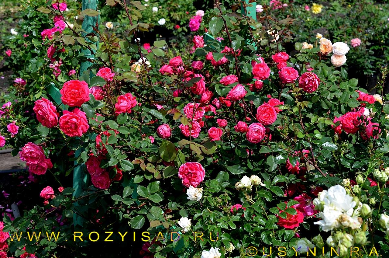 Роза парковая александр маккензи