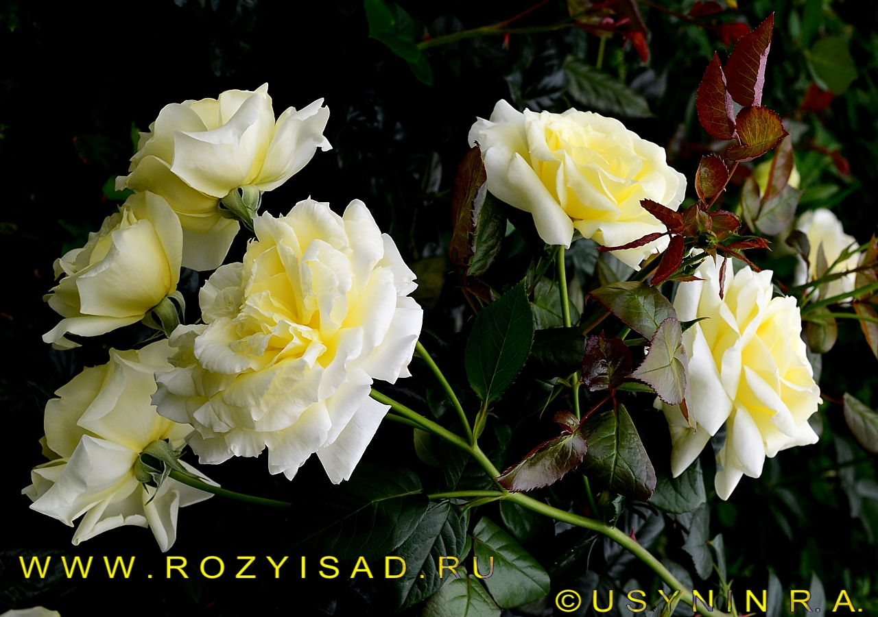 Роза плетистая elfe 5