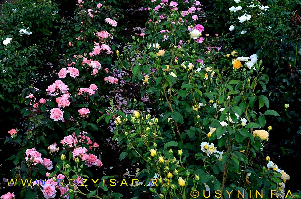 Плетистая роза дельбар 5