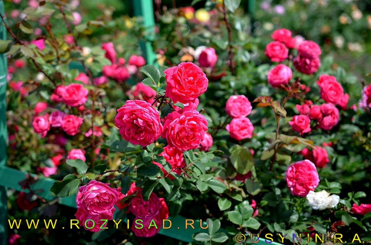Роза alexander mackenzie отзывы
