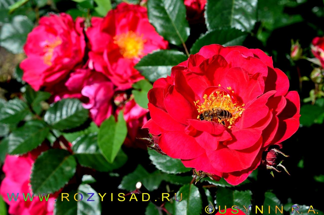 Роза канадская плетистая джон кэбот 2