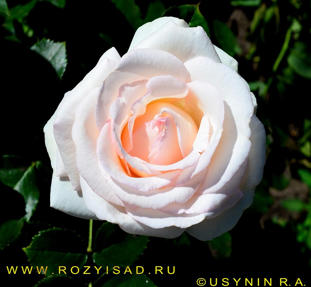 Роза плетистая пале рояль 1