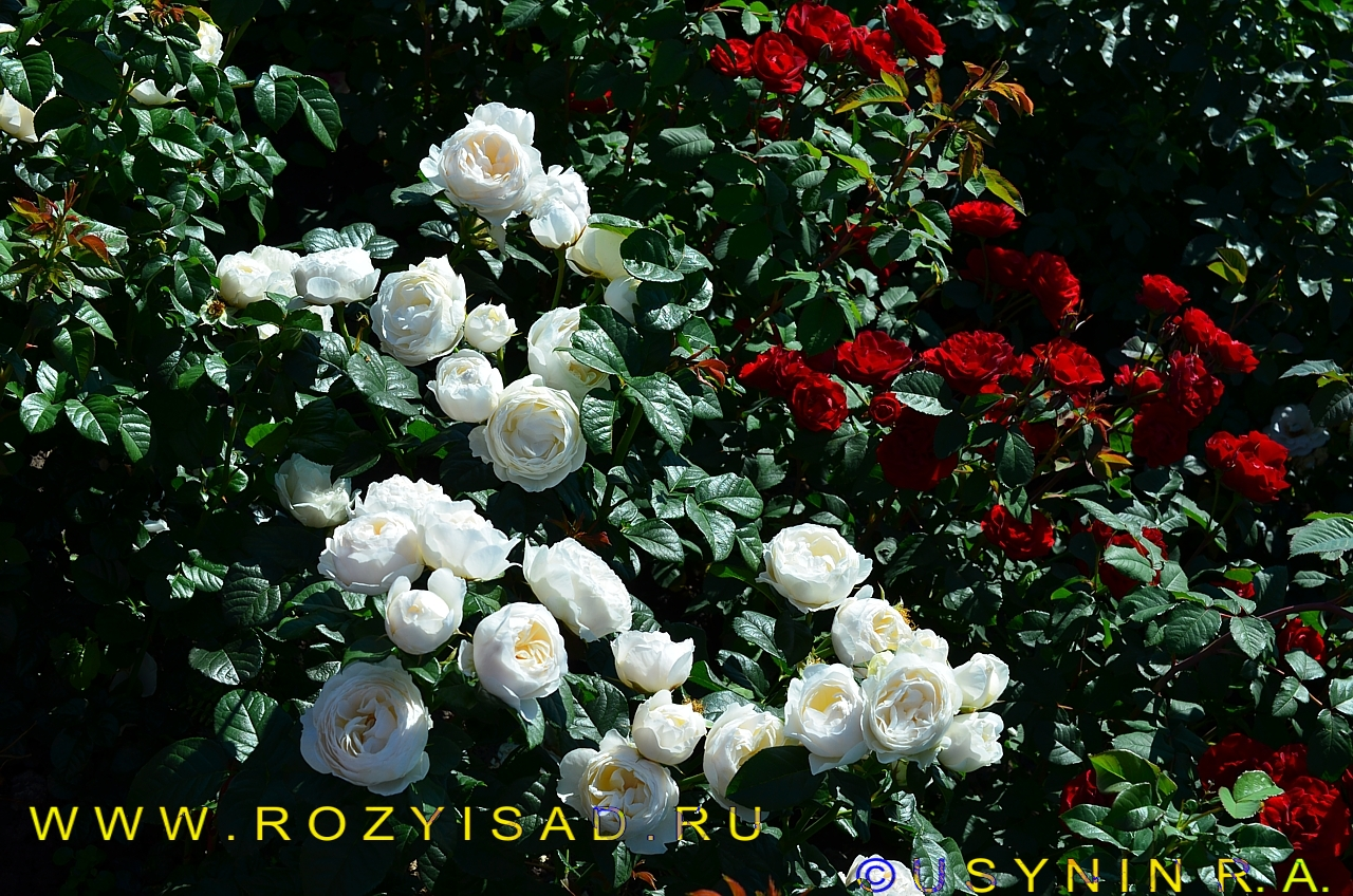 Розы плетистые прямостоячие 3
