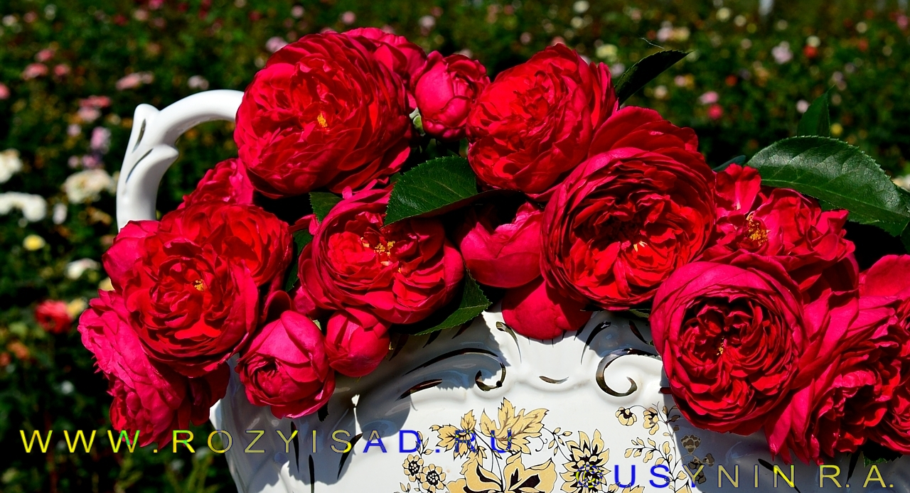 роза маховая