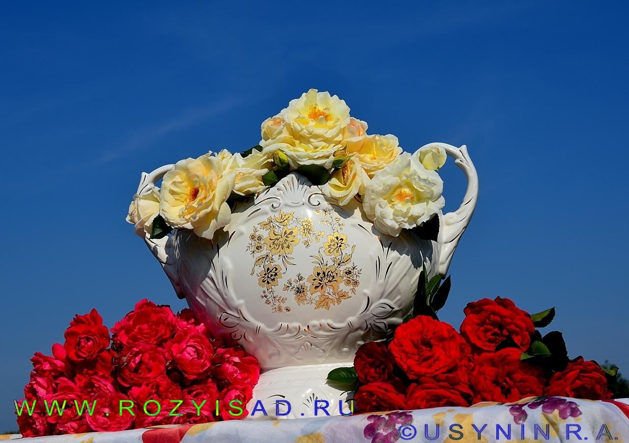 Плетистая роза высота 4