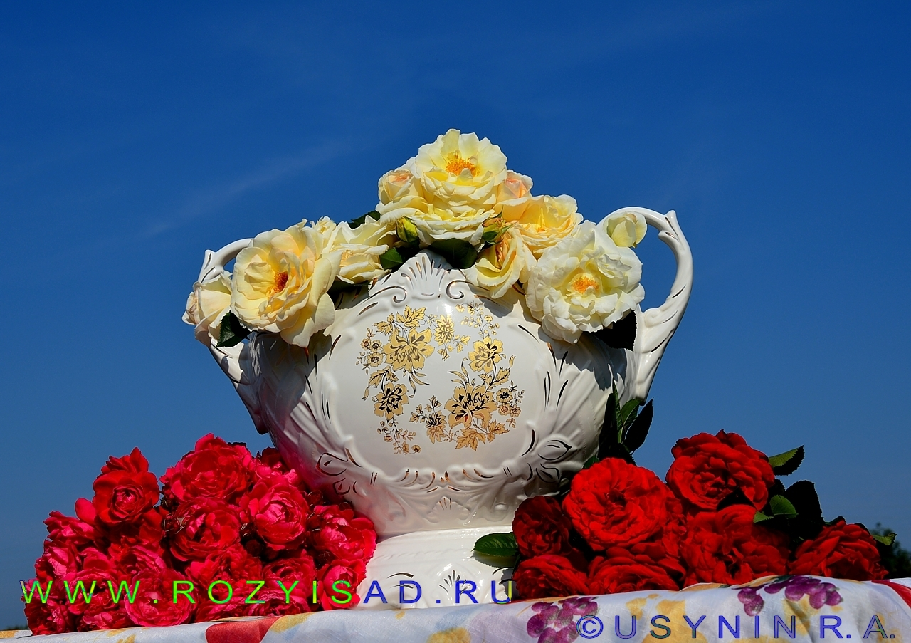 Шнеевальцер роза плетистая 6